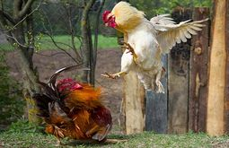 My chickens are fighting each other, what should I do
