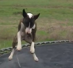 Do-Dogs-Like-Trampolines